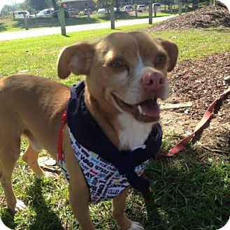 Chihuahua Mix Dog for adoption in Covington, Louisiana - Nibbler