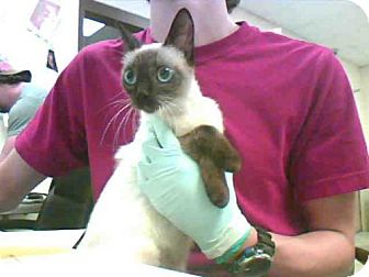 Siamese Cat for adoption in Conroe, Texas - A277345
