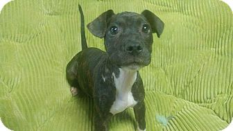 Pit Bull Terrier Mix Puppy for adoption in Forest Hill, Maryland - Luna