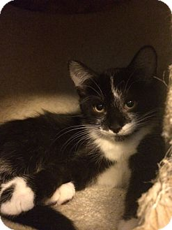 Domestic Shorthair Kitten for adoption in Overland Park, Kansas - Amelia