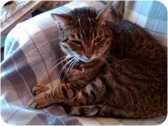 Domestic Shorthair Cat for adoption in Erie, Pennsylvania - Beans