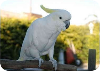 Cockatoo for adoption in Fountain Valley, California - Jester