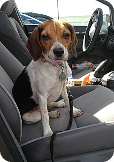 Beagle Mix Dog for adoption in New Richmond, Ohio - Cokie--Pending