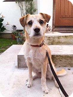 Fox Terrier (Wirehaired)/Terrier (Unknown Type, Medium) Mix Dog for adoption in Los Angeles, California - Jackson Brown