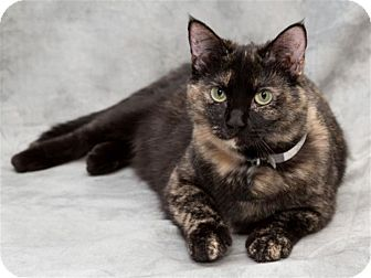 Domestic Shorthair Cat for adoption in St. Louis, Missouri - Poppy