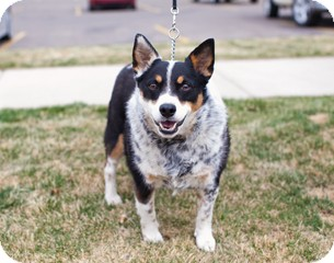 Australian Shepherd Mix Dog for adoption in Great Falls, Montana - Mattie