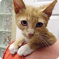 Adopt A Pet :: Stevie - Chicago, IL