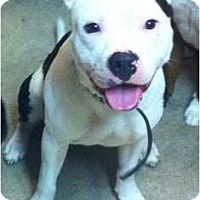 Adopt A Pet :: Apollo - Gorgeous Boy! - Sacramento, CA