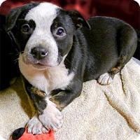 Adopt A Pet :: Indiana regal beauty - Sacramento, CA