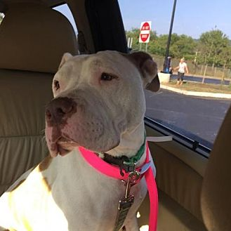 American Staffordshire Terrier Mix Dog for adoption in Manhattan, New York - Hazel