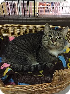 Domestic Shorthair Cat for adoption in Blasdell, New York - Jewels