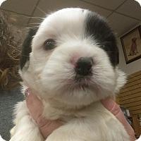 Adopt A Pet :: Furley - Ogden, UT