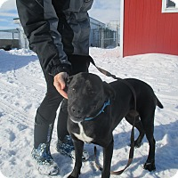 Labrador Retriever/American Staffordshire Terrier Mix Dog for adoption in Montpelier, Idaho - Jade