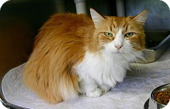 Domestic Longhair Cat for adoption in Port Jervis, New York - Muffin