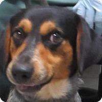 Adopt A Pet :: Pepper - Lincolnton, NC