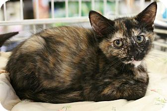 Domestic Shorthair Kitten for adoption in Cumberland and Baltimore, Maryland - Dahlia