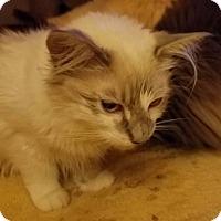 Adopt A Pet :: Sonnet - Ennis, TX