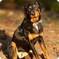 Dachshund/Doberman Pinscher Mix Dog for adoption in Prince Frederick, Maryland - Stella