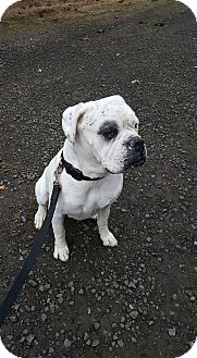 American Bulldog Dog for adoption in Sheridan, Oregon - Tank