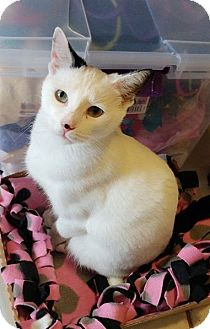 Domestic Shorthair Cat for adoption in Middletown, New York - Andra