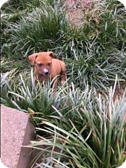 Pit Bull Terrier/Boxer Mix Puppy for adoption in Washington, D.C. - Mango (ETAA)