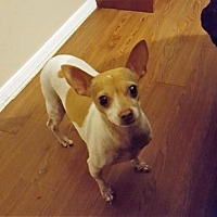 Rat Terrier Dog for adoption in Scottsdale, Arizona - Khloe