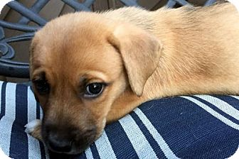 Basset Hound Mix Puppy for adoption in Pennsville, New Jersey - WINSTON - ADOPTION PENDING!