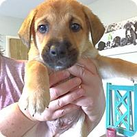 Adopt A Pet :: Clover - Chino Hills - Chino Hills, CA