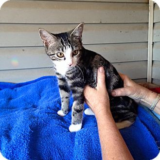 Domestic Shorthair Cat for adoption in Pulaski, Tennessee - Trix
