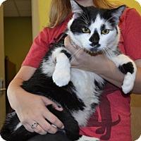 Domestic Mediumhair Cat for adoption in Rockwall, Texas - Mustachio