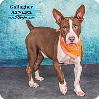 Bull Terrier Mix Dog for adoption in Conroe, Texas - GALLAGHER