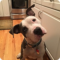 Pit Bull Terrier Mix Dog for adoption in Hartford, Connecticut - Pixley