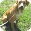Photo 3 - Boxer/Shar Pei Mix Dog for adoption in Hillsboro, Ohio - Jasper