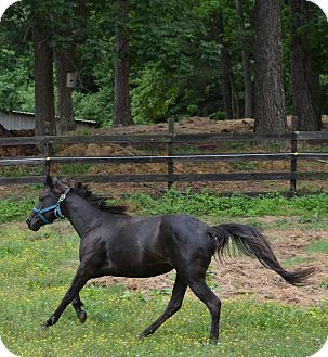 Thoroughbred Mix for adoption in Waleska, Georgia - Secret