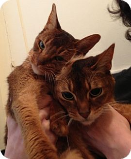 Abyssinian Cat for adoption in Davis, California - Pelli and Koko