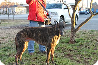 "Greyhound Dog for adoption in Smyrna, Tennessee - TB's Milk Man ""Toby"""