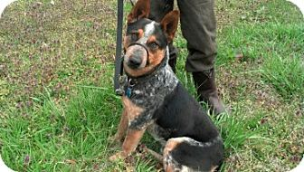 Australian Cattle Dog/Australian Cattle Dog Mix Dog for adoption in Homewood, Alabama - Nero