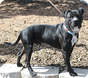 Pit Bull Terrier Mix Dog for adoption in Gardnerville, Nevada - Conner