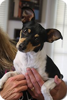 Fox Terrier (Smooth)/Terrier (Unknown Type, Small) Mix Dog for adoption in Homewood, Alabama - Bebe