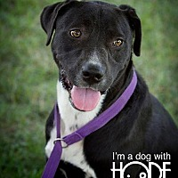 Boxer/Labrador Retriever Mix Dog for adoption in Godfrey, Illinois - Palmer