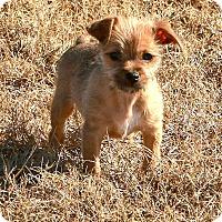 Adopt A Pet :: *Cinnamon - PENDING - Westport, CT