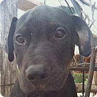 Adopt A Pet :: Chocolate Chip - Toms River, NJ