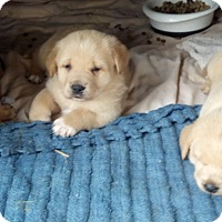 Adopt A Pet :: Dilly Puppies - Johnson City, TX