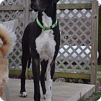 Adopt A Pet :: Thor - O'Fallon, MO