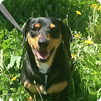 Dachshund Mix Dog for adoption in Lodi, California - Clyde