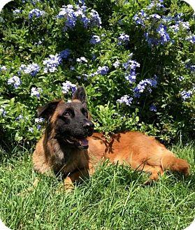 Belgian Shepherd/Basset Hound Mix Dog for adoption in Seminole, Florida - PENNY~BELGIAN SHEPHERD/BASSETT MIX 1 YR OLD