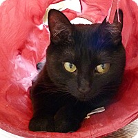 Domestic Shorthair Cat for adoption in St. Louis, Missouri - Jetta