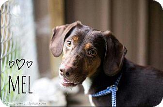Beagle Dog for adoption in Kendallville, Indiana - Mel