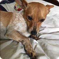 Chihuahua/Dachshund Mix Dog for adoption in Ashville, Ohio - Dean