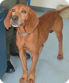 Hound (Unknown Type) Mix Dog for adoption in Loxahatchee, Florida - Augustus